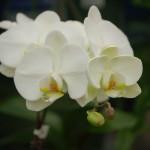 Orchids (81)