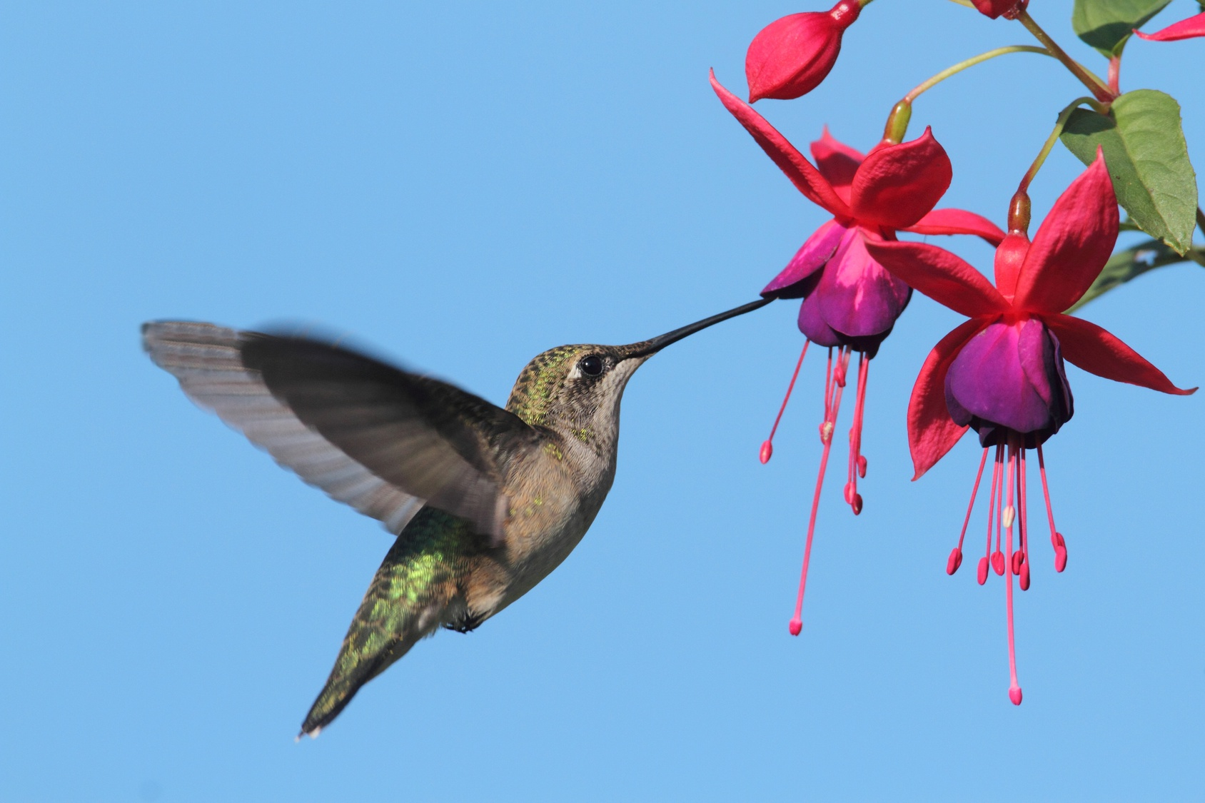 humminbird drinking from fuschia flowers as the season for allergies progresses